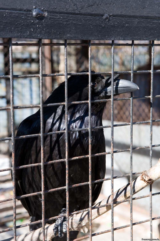 вольер с воронами